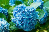 Flores de hortênsia