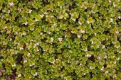 image of bearberry  - The arctostaphylos uva ursi flowering  - JPG