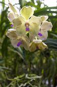 Orchids(vanda)