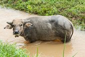 image of carabao  - A young buffalo eating some grass near the canal - JPG