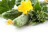 Cucumbers With Leaves And Flower. Macro
