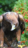 Golden Eagle Looking Curious