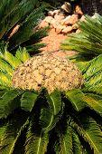 Cycas Revoluta,K ing Sago