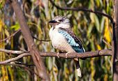 image of blue winged kookaburra  - A blue - JPG