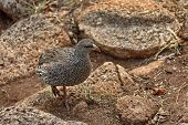 Cape Spurfowl or Cape Francolin (Pternistis capensis)