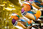Closeup Male Mandarin Duck (aix Galericulata)