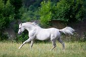 Arabian gray horse runs across the field.