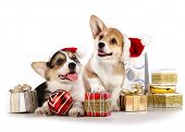 image of corgi  - puppies  corgi wearing a Santa hat - JPG