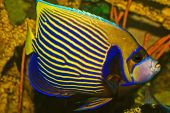 Kaiser Anglefish pomacanthus
