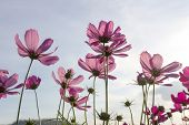 stock photo of cosmos flowers  - Pink cosmos flowers under autumn sky in Thailand - JPG