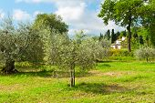 image of apennines  - Olive Grove on the Slopes of the Apennine Mountains Italy - JPG