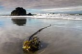 kelp plant on Oregon beach