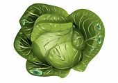image of water cabbage  - cabbage with drops of water - JPG