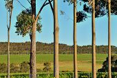 Vineyard Behind Treeline