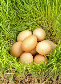 picture of hatcher  - Pile of chicken eggs between green fresh wheat - JPG