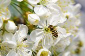 Bee Collecting Pollen From Pear Blossom