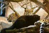 Amur Leopard Mother With Her Cubs