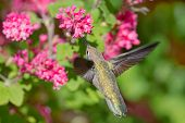 Anna's Hummingbird feeding on Flowering Currant