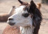 Llama Closeup Portrait