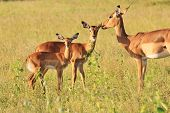 Impala Mother - Wildlife Background from Africa - Adornment of Baby Animals
