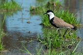 Spur-winged Plover (vanellus Spinosus) On A Grassy Island In A Marsh