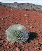 Silversword plant, Haleakala National Park, Maui Hawaii, USA