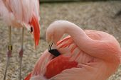 Chilean Flamingo - Phoenicopterus Chilensis
