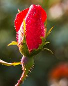 stock photo of woodstock  - Red rose bud covered in dew early morning