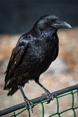 picture of caw  - Beautiful black crow sitting on the branch - JPG