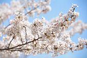 cherry blossom sakura in tokyo japan in sakura season 2014