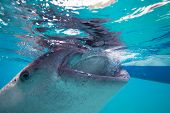 foto of plankton  - Underwater shoot of a gigantic whale sharks  - JPG