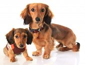Longhair dachshund dog and puppy.