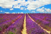 beautiful feelds of blooming lavanda - simbol of Provence, Franc