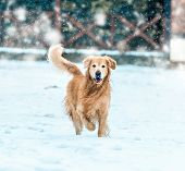 foto of freezing temperatures  - friendly golden retriever walk at the snow in winter park - JPG