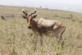 hartebeest grazing in Nairobi National Park