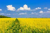 stock photo of rape-field  - Nice yellow rape field in sunny day - JPG