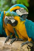 colorful Macaws parrots