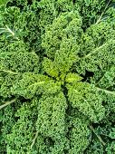 pic of kale  - Close - JPG