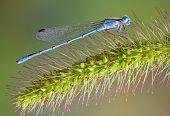 Blue Damselfly On Foxtail