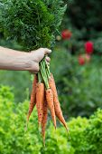 picture of harvest  - Man hand holding freshly harvested carrots with green leaves - JPG