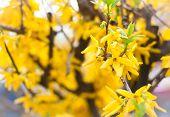 laburnum flowers