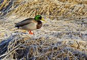 stock photo of male mallard  - A male Mallard is perched on the frost covered brown grass - JPG