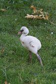 Baby Flamingo I
