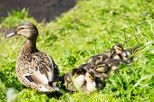 Mother Duck With Childs