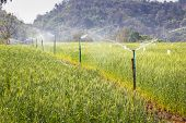 Sprinkler In Rice Field