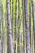 beech forest  in Irati Jungle, Pyrenees, Navarra, Spain
