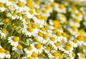 Summer background with field of daisy flowers