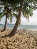 Coconut tree on the beach in Koh Samui Thailand