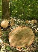 Cut  Tree  Oak