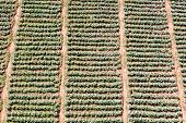 Aerial view of fields filled with cauliflower plantation